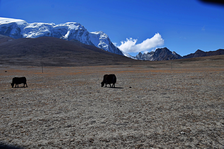 Yaks grazing all day