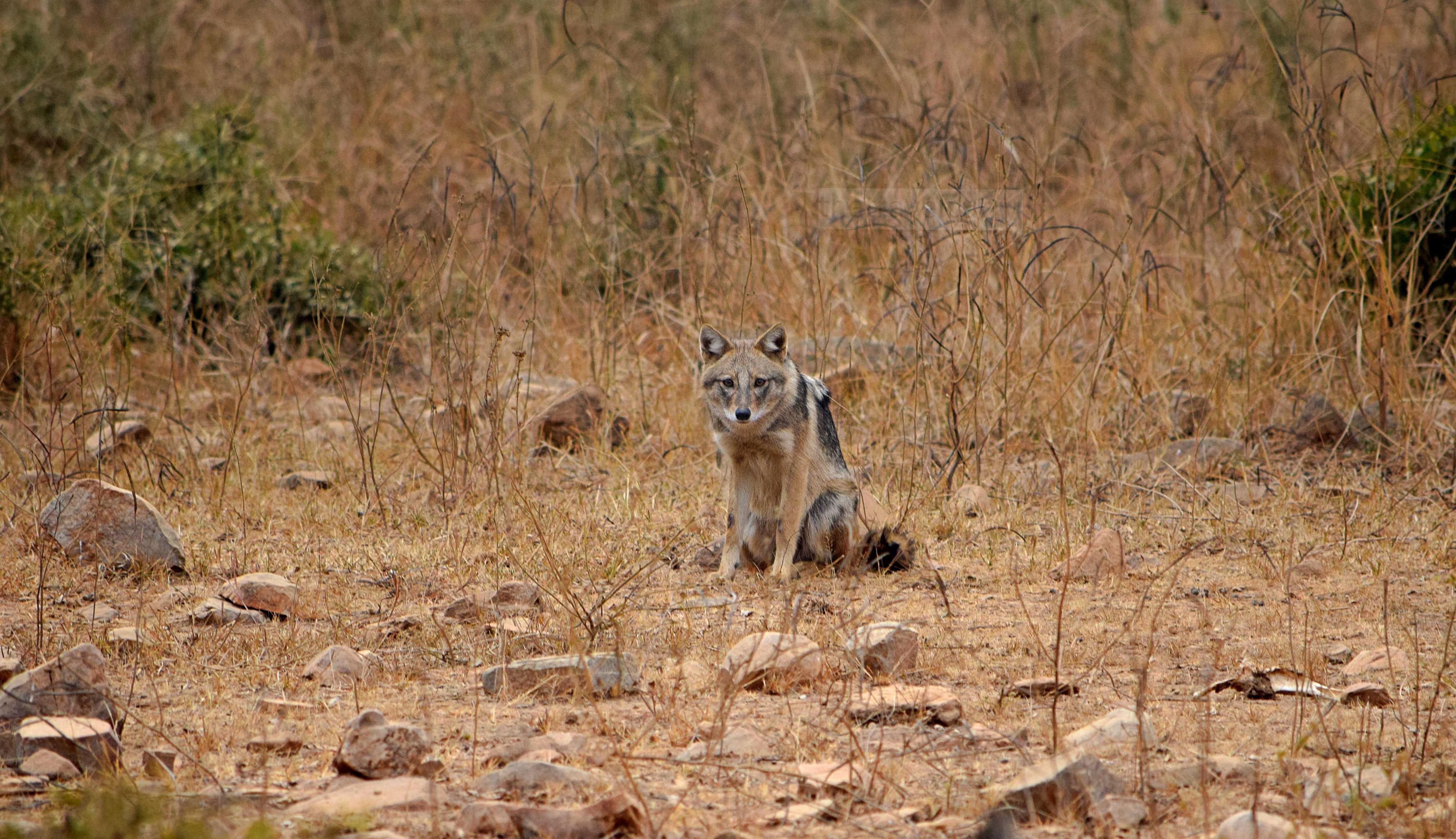 The angry jackal