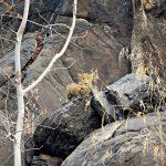 Crouching leopard, hidden cubs
