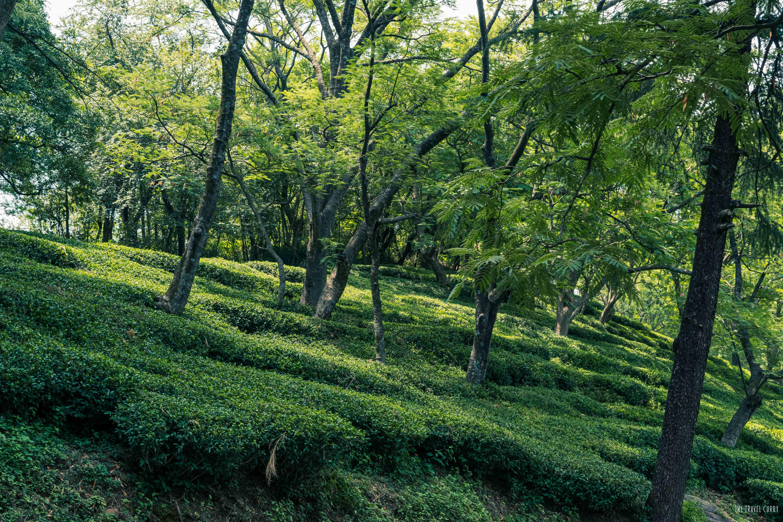 The lush green tea estate